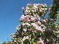 Wzwz tree 14f Kolkwitzia amabilis.jpg
