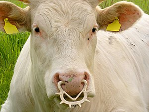 Nose ring (animal) - A spiked ring which prevents suckling