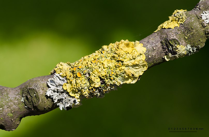 Xanthoria parietina - Common yellow lichen - on a branch of an ash tree - Fraxinus excelsior - 01.jpg