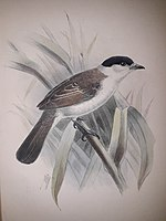 Illustration of white bird with black wings and head