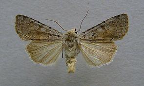 Aschgraue Bodeneule (Xestia ashworthii ssp. candelarum)