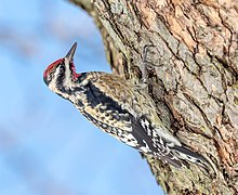 Yellow-bellied sapsucker in CP (40484).jpg