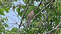 Yellow-billed Cuckoo (8751173627).jpg