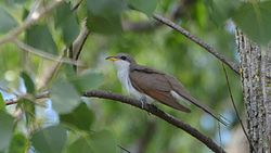 Yellow-billed Cuckoo (8925606258).jpg