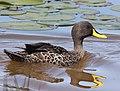 Yellow-billed Duck Plettenbergbay RWD.jpg
