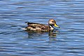 Yellow-billed Pintail (Anas georgica) (8077566033).jpg
