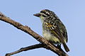 Yellow-fronted tinkerbird, Pogoniulus chrysoconus, at Walter Sisulu National Botanical Garden, South Africa (16004549671).jpg
