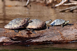 Yellow-spotted river turtles (Podocnemis unifilis).JPG