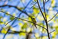 Yellow-throated vireo (40716956403).jpg