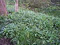 Yellow Archangel and Wild Garlic on May Day - geograph.org.uk - 161975.jpg