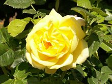 Yellow Rose Gelbe Rose