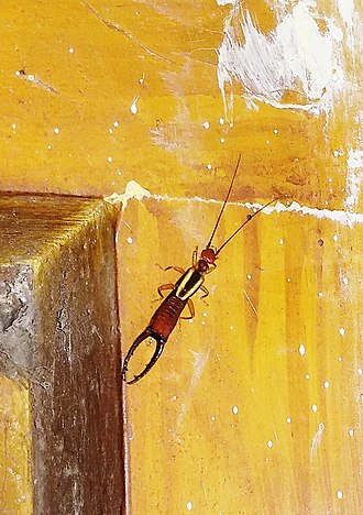 Earwig - This photo is taken by me at 9.00 PM at Haldia, West Bengal, India. The earwig was strolling around the wall, over a tiles.