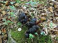 Young bear scat (8103785963).jpg
