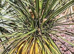 Yucca baileyi in Christchurch Botanic Gardens 03.jpg