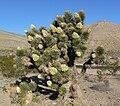 Yucca brevifolia 24.jpg