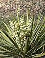 Yucca schidigera 26.jpg