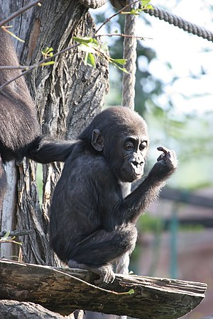 Western lowland gorilla - A young western lowland gorilla at Praha Zoo