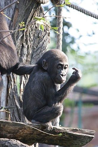 Western lowland gorilla - A young western lowland gorilla at Praha Zoo