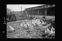 Zdai Warburg. Colony. (Fields or gardens of Warburg). Part of the colony's chicken farm LOC matpc.18658.jpg
