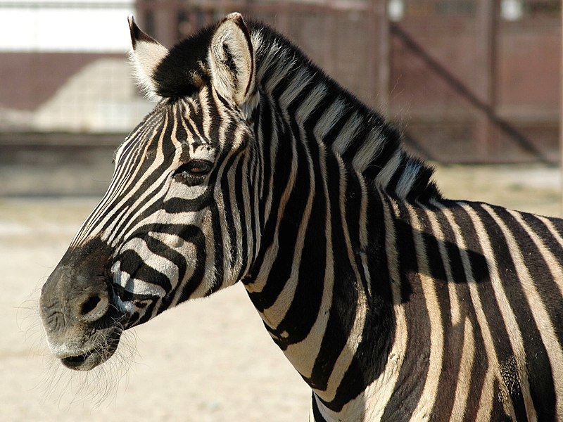 File:Zebra 03.jpg