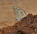 Zebra Blue (Leptotes plinius) in Kinnarsani WS, AP W IMG 5983.jpg