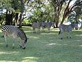 Zebras in the backyard.jpg