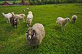 Zemědělská zvířata, Srbce, okres Prostějov.jpg