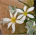 Zephyranthes candida Flowers BotGard0906a.jpg