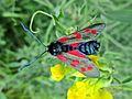 Zygaena filipendulae (Zygaenidae) (Six-spot Burnet) - (imago), Arnhem, the Netherlands.jpg