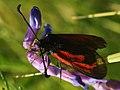 Zygaena minos - Пестрянка восточная пурпурная (40539318635).jpg