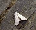 (1354) Small China-mark (Cataclysta lemnata) (7510205786).jpg
