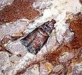 (1439) Acrobasis advenella (28555818275).jpg