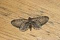 (1834) Common Pug (Eupithecia vulgata) (3532982809).jpg