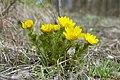 Горицвет весенний Белгородская область 03.jpg