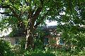 Дуб черешчатий Криниця 4.jpg
