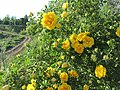 Желтые розы и дорога через запруду. Чистополь. Татария. Июнь 2013 - panoramio.jpg
