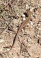 Крымская ящерица Podarcis tauricus Balkan Wall Lizard Кримски гущер Taurische Eidechse (45200477911).jpg