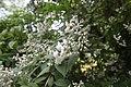 Національний ботанічний сад ім. М.Гришка Дейції IMG 4102.jpg