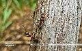 Рыжий лесной муравей Альбом KR 01.jpg