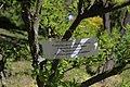 Сирецький дендропарк Гортензія волотоподібна IMG 7766.jpg