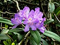 Странджанска зеленика Rhododendron ponticum.jpg