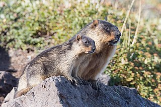 Black-capped marmot Species of rodent