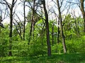 Територія проектованого заказника Чернечий ліс у 2007 році (4).jpg