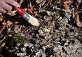 Фосили од морски полжави (семејството Nerinea).jpg