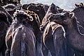 چرای گله شتر - حوالی کاروانسرای دیر گچین قم - پارک ملی کویر 16.jpg