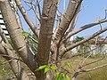 உதிய மரம்2 (Lannea coromandelica).jpg