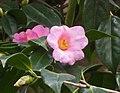 單體紅山茶(美人茶) Camellia uraku -香港公園 Hong Kong Park- (26036921538).jpg