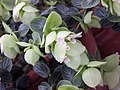 圓葉牛至 Origanum rotundifolium -倫敦植物園 Kew Gardens, London- (9227079229).jpg