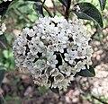 地中海莢迷 Viburnum tinus -武漢植物園 Wuhan Botanical Garden- (9227079097).jpg