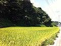 氷見の海岸道路沿いの田んぼ(Rice field along the shore road of Himi) - panoramio (1).jpg
